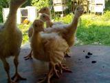 Продам птицу молодняк индюшата, гусята, индоутята